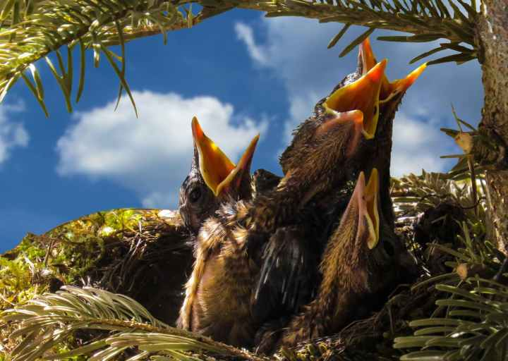 bird-blackbird-nest-hatching.jpg
